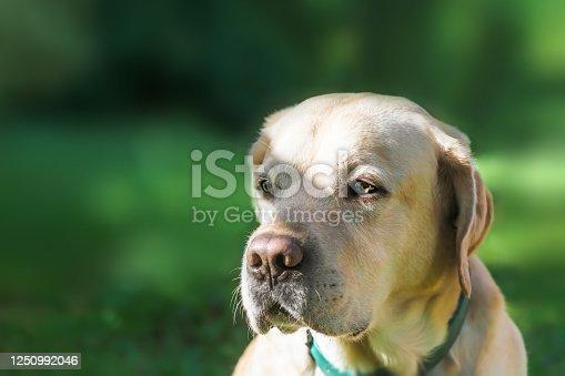 portrait of a white beautiful labrador against a grass. close up. copy space