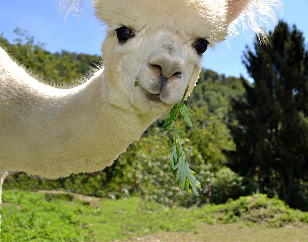 portrait of a white curious alpaca eating in summer. - alpaca fotografías e imágenes de stock