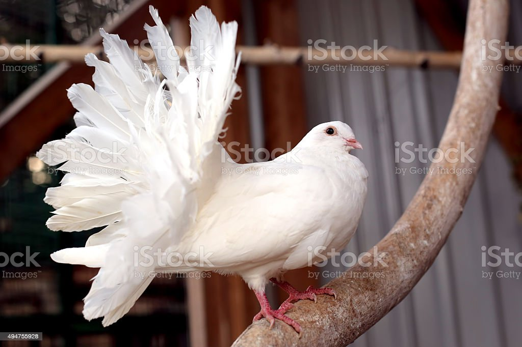 portrait of a white dove with a fluffy tail stock photo