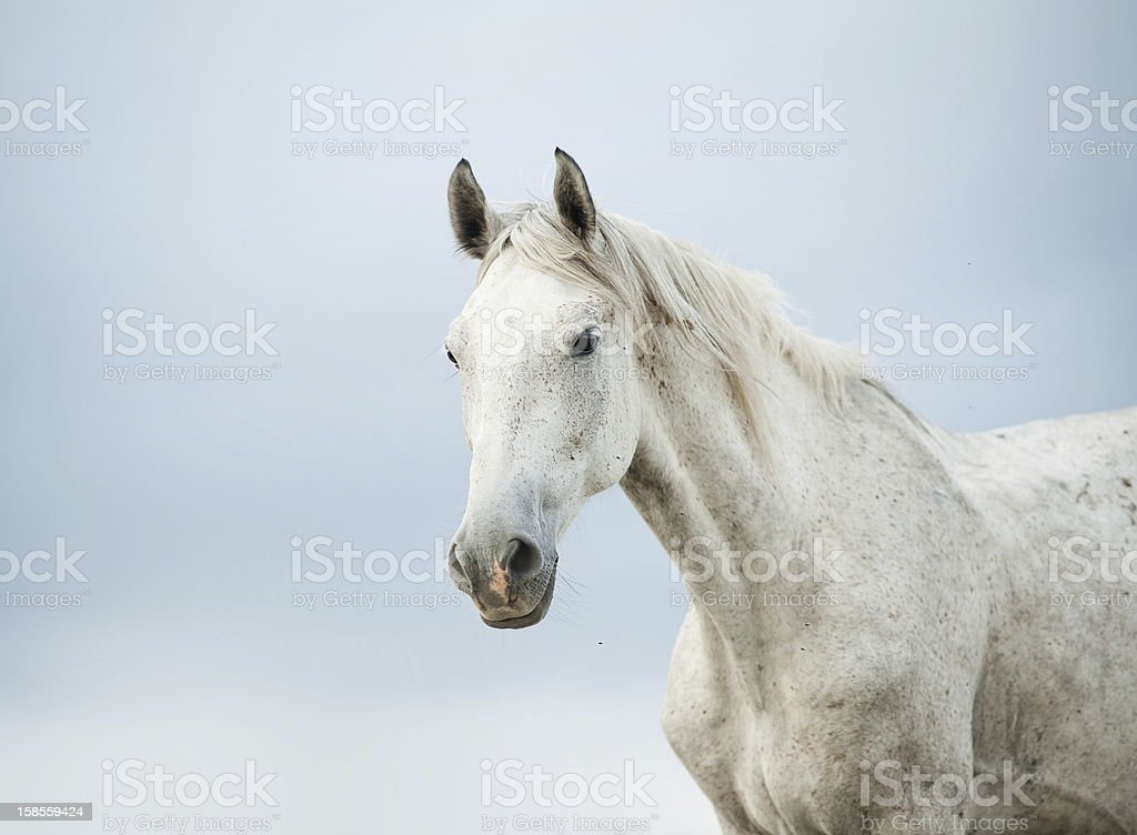 Portrait of a white horse against a gray sky stock photo