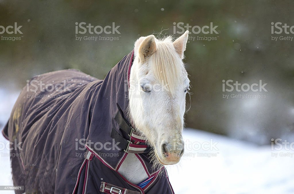 Portrait of a white horse in the winter stock photo