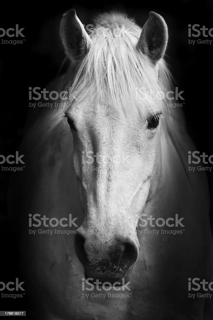 White horse\'s black and white art portrait.