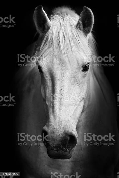 Portrait of a white horse picture id176618577?b=1&k=6&m=176618577&s=612x612&h= 8eebb2erq0wdnmep fndary0qx vejpqsvpyqb3ax8=