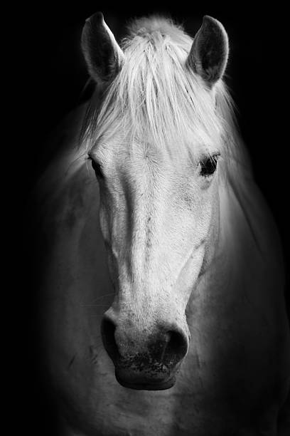 Portrait of a white horse picture id176618577?b=1&k=6&m=176618577&s=612x612&w=0&h=k6whcalc u6awnwkyepgs8l5izzpwtp9f7gwx9peank=
