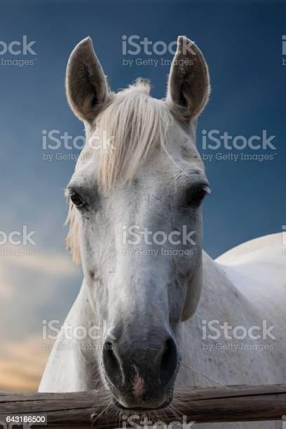 Portrait of a white horse picture id643166500?b=1&k=6&m=643166500&s=612x612&h=cqov4kknihujh0mmlkyvhgvd5dlgewdmaqyhvdmcqw8=