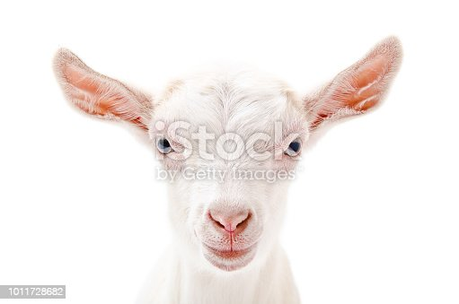 Portrait of a white little  goat closeup Isolated on white background