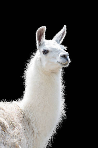 porträt von einem weißen lama lama glama - lama kamelartige stock-fotos und bilder