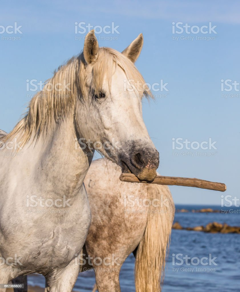 Portrait of a white man with a stick in his mouth. foto stock royalty-free