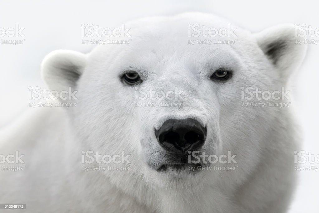 Portrait of a white polar bear. stock photo