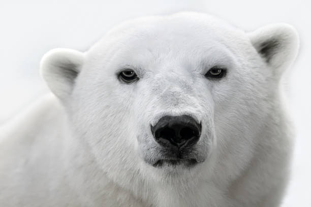 Portrait of a white polar bear. stock photo