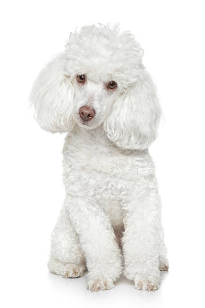 Portrait of a white toy poodle tilting his head White toy poodle sits on a white background  [URL=http://www.istockphoto.com/search/lightbox/8586584/][IMG]http://photofile.ru/photo/fotojagodka/115802858/large/138343646.jpg[/IMG][/URL] poodle stock pictures, royalty-free photos & images