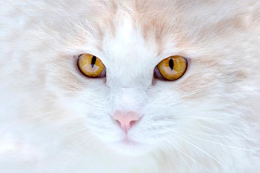 Portrait Of A White Turkish Angora Cat Stock Photo ...
