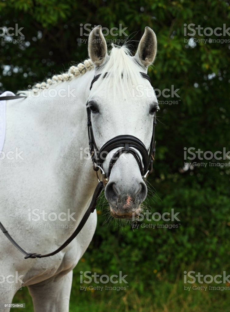 Portrait of a White Warmblood Horse stock photo
