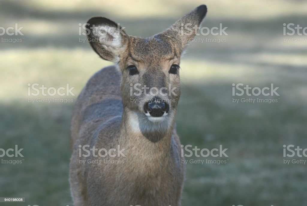 Portrait Of A Whitetail Deer Doe stock photo