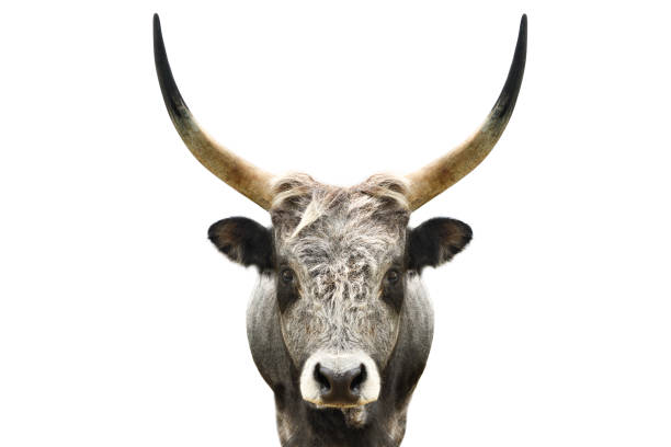 Portrait of a wild forest bull isolated on white background Portrait of a wild forest bull isolated on white background bull animal stock pictures, royalty-free photos & images