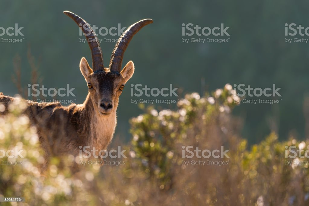 Portrait of a wild goat among vegetation in Montserrat mountains stock photo