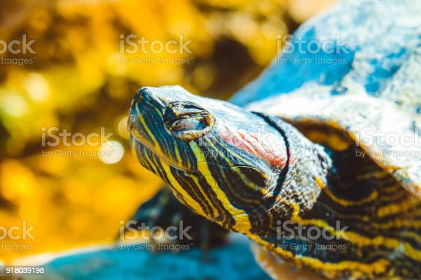 Portrait of a wild turtle on the rock with closed frown eye red ear picture id918039198?b=1&k=6&m=918039198&s=612x612&h=6bbmnq 3m5ro37vf2kaov3bri9rkxhj2tm5 1xgfxaa=