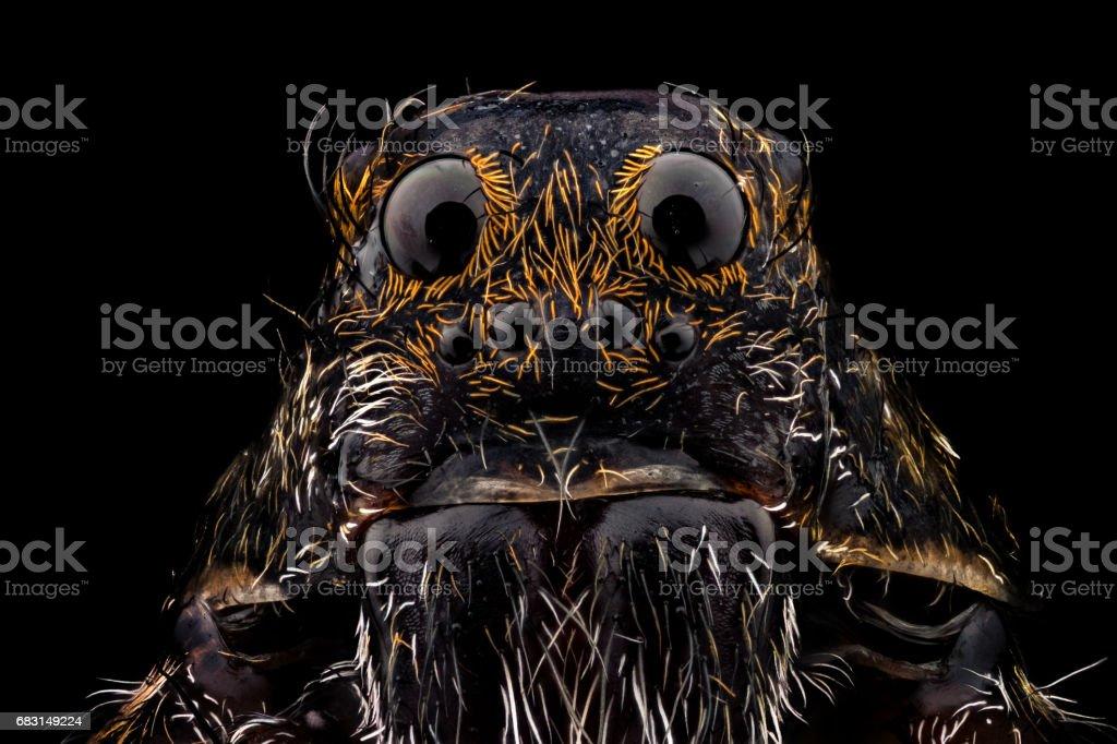 Retrato de uma Aranha-lobo - foto de acervo