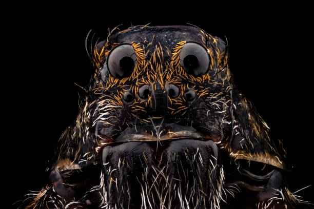 portrait d'une araignée loup - araignée photos et images de collection