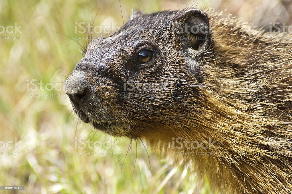 Portrait of a Yellow Bellied Marmot royalty-free stock photo