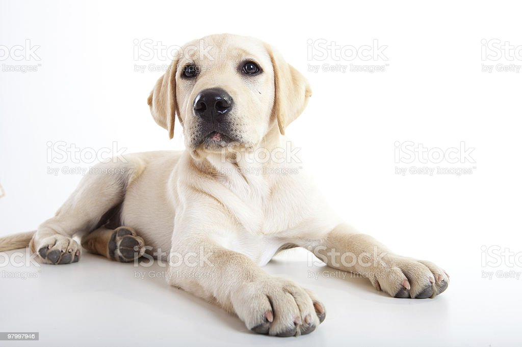 A portrait of a yellow Labrador puppy royalty free stockfoto