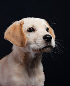 Portrait of a yellow labrador retriever mix breed puppy against a black background