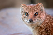 istock Portrait of a yellow mongoose 1098314596