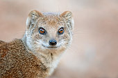 istock Portrait of a yellow mongoose 1098314628