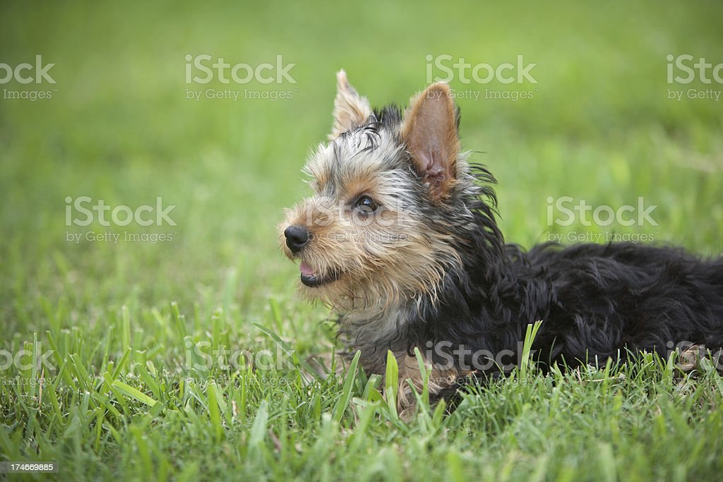Portrait of a Yorkie Puppy Resting in the Grass royalty-free stock photo