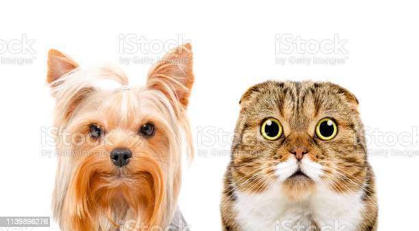 Portrait of a yorkshire terrier and cat scottish fold picture id1139896276?b=1&k=6&m=1139896276&s=612x612&h=iwqrknw3y xdh3qo43quqjswfgk0csbceatx3repcge=