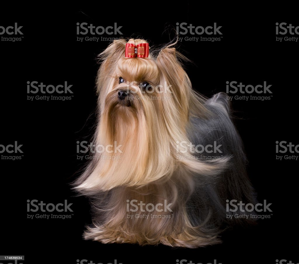 Portrait of a Yorkshire Terrier Show Dog royalty-free stock photo