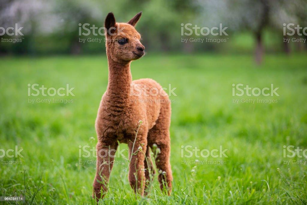 Portret van een jonge Alpaca, een Zuid-Amerikaanse zoogdieren foto