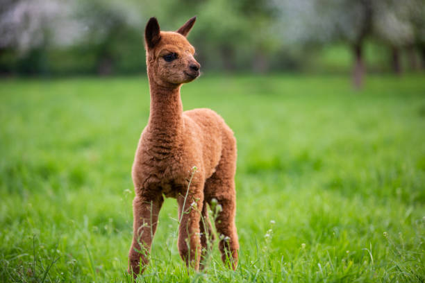 Portrait of a young Alpaca, a South American mammal stock photo