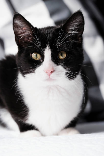 Portrait of a Young Black and White Cat stock photo