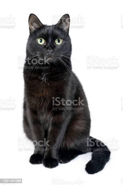Portrait of a young black cat on white background picture id1031401088?b=1&k=6&m=1031401088&s=612x612&h=lnawu qxgu6q6ororrazgkv6fayqx g0fqh5f8lncui=