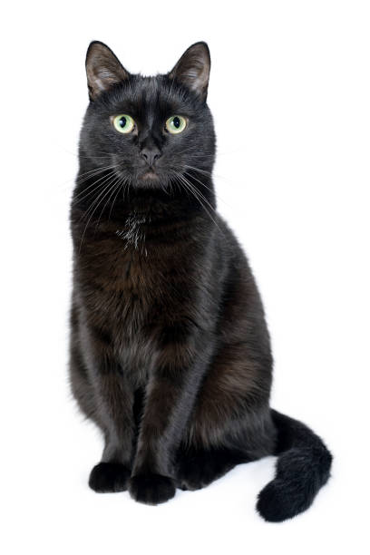 Portrait of a young black cat on white background Portrait of a young black cat sitting on a white background looking in the camera. Studio shot. Black cat isolated on white black cat stock pictures, royalty-free photos & images
