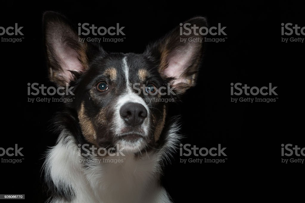 Portrait of a young border collie stock photo
