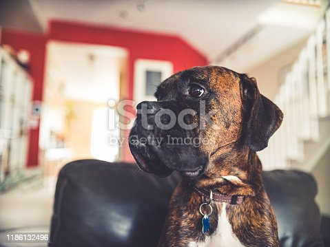 Portrait of a young boxer dog, sitting on the chair.