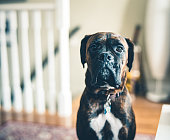 istock Portrait of a young boxer dog 1198064002