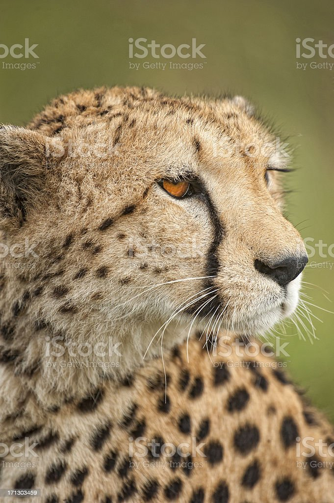 Portrait of a young Cheetah, Masai Mara, Kenya stock photo