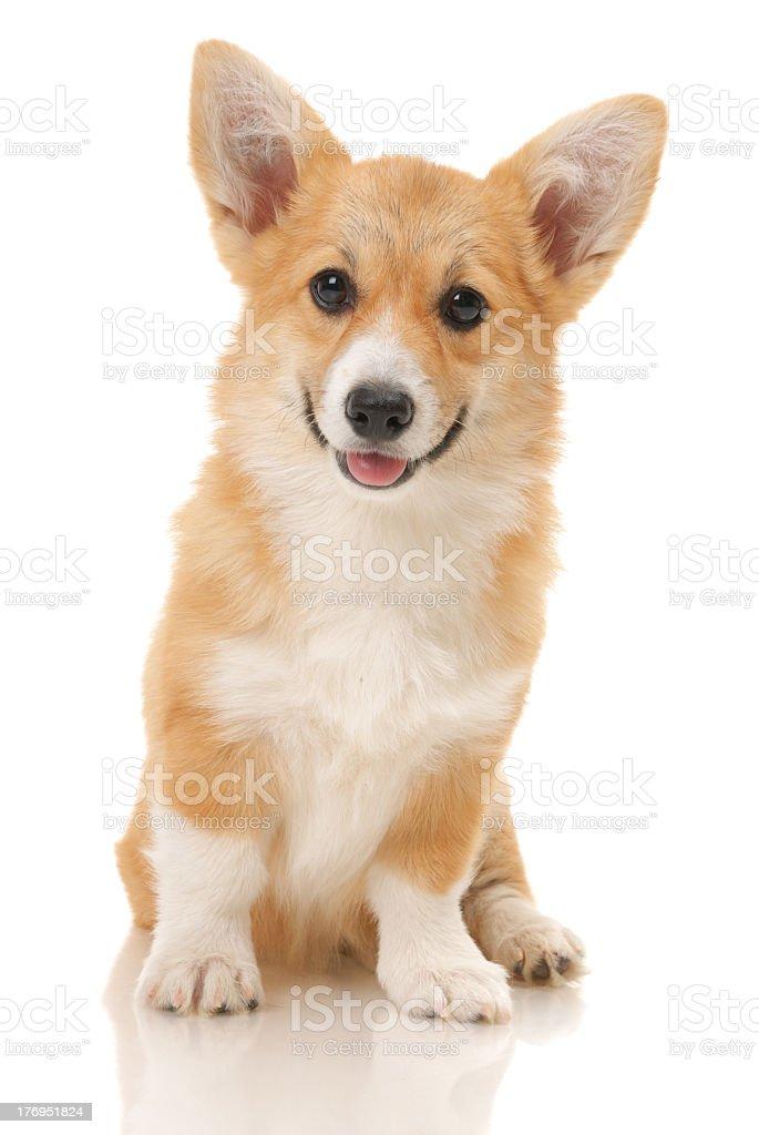 A portrait of a young corgi puppy stock photo