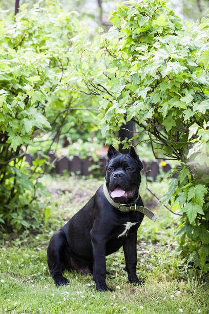 portrait of a young dog of the cane-Corso breed against a background of bright green foliage portrait of a young dog of the cane-Corso breed against a background of bright green foliage cane corso stock pictures, royalty-free photos & images