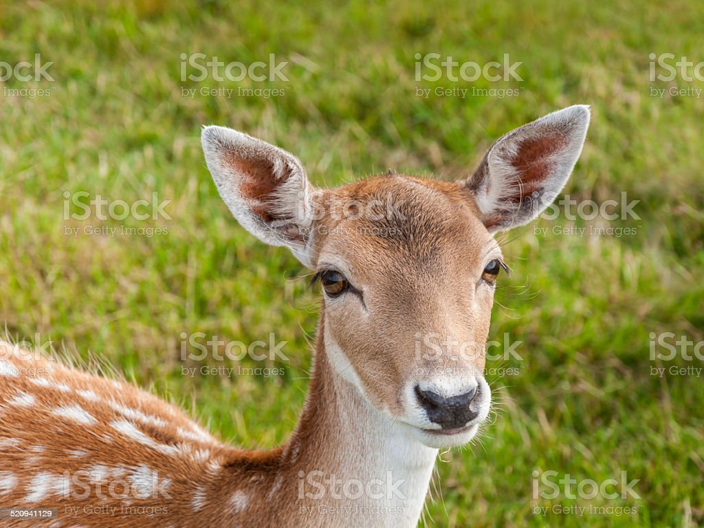Portrait Of A Young Fallow Deer With Beautiful Eyes Stock Photo ...
