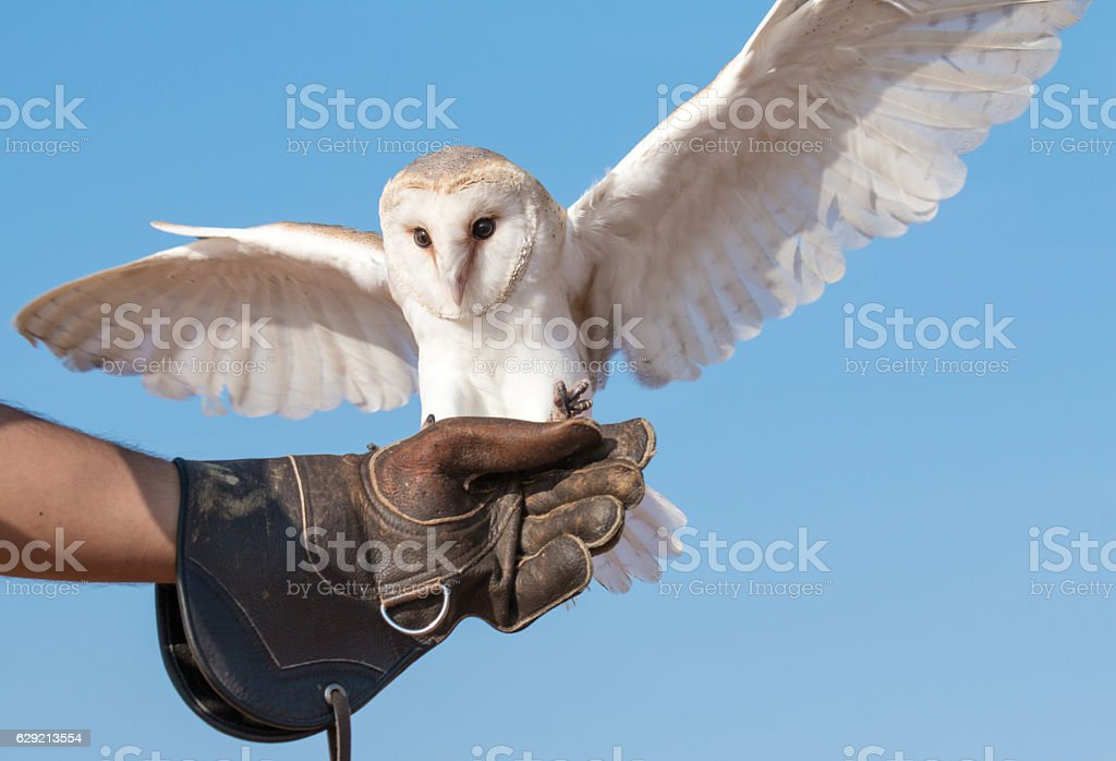 Portrait of a young female barn owl during a falconry training. stock photo