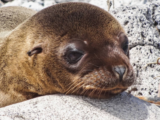 Portrait of a young fur seal on galapagos stock photo
