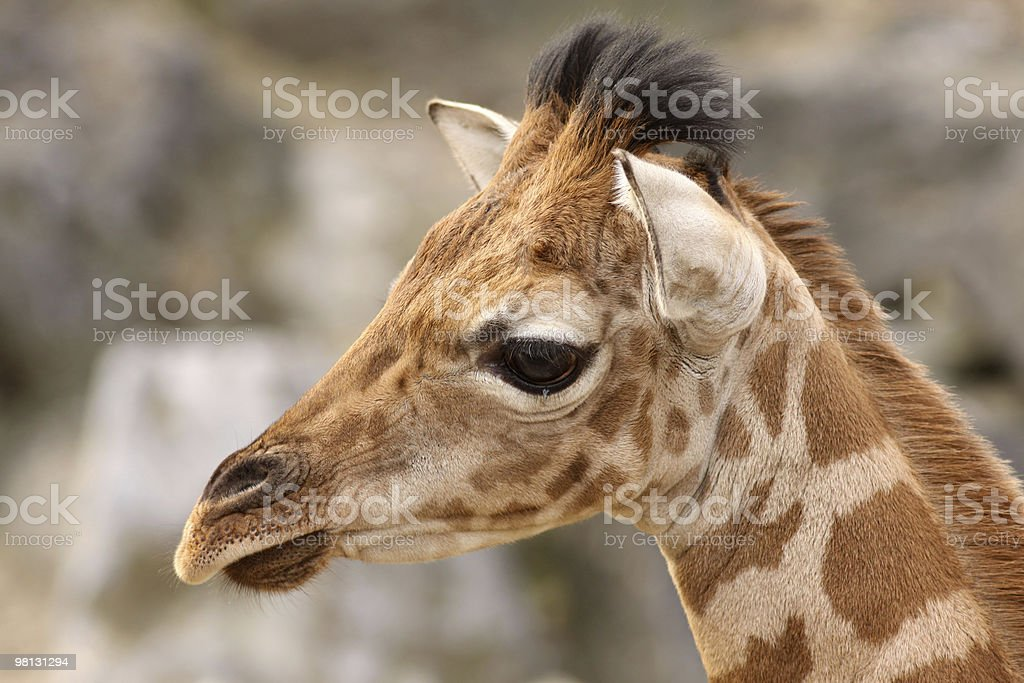 Portrait of a young giraffe royalty-free stock photo