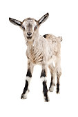 istock Portrait of a young goat standing 903592642