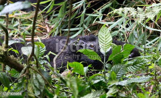 A close up of a young gorilla within the parc national des volcanos- Rwanda