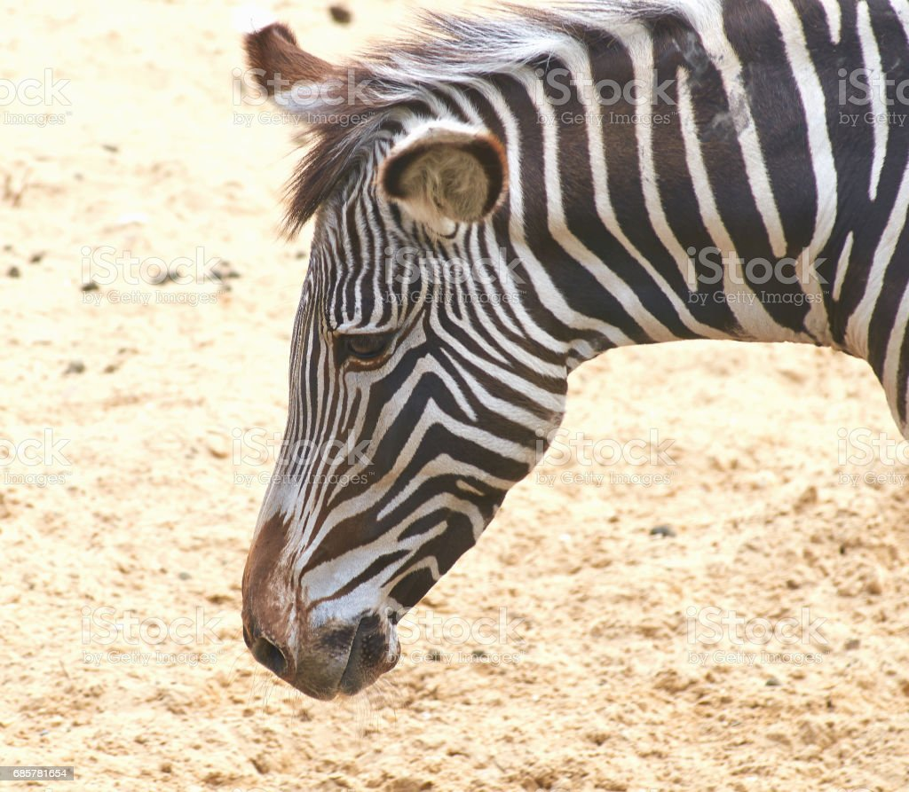 Portrait of a young Grevy zebra, close up. royalty-free stock photo