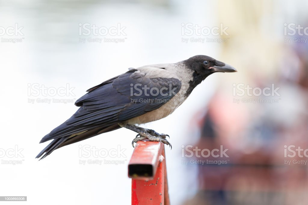 Portrait of a young hooded crow. Close-up of gray and black bird stock photo